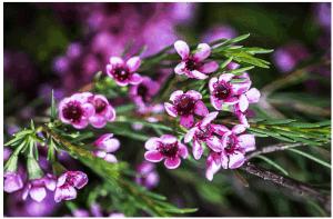 Affordable-Wedding-Flowers-Geralton-Wax