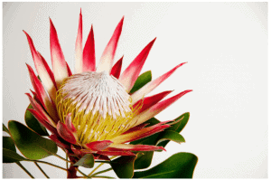 Affordable-Wedding-Flowers-King-Protea