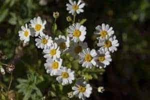 Affordable-Wedding-Flowers-Daisy-Spray