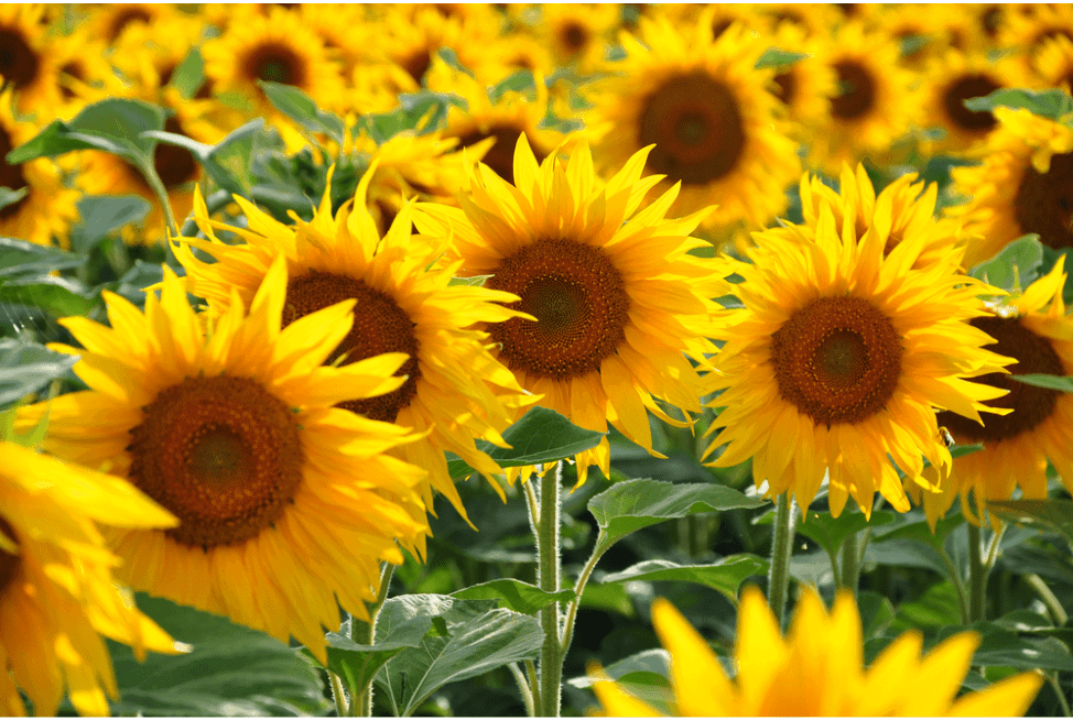 The Most Interesting Sunflower Facts That You Need To Know