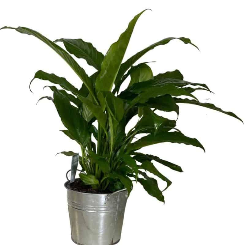 large indoor plant aussie world flowers